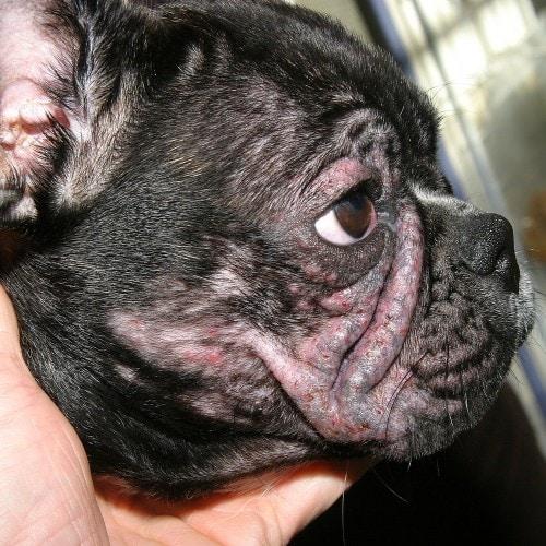 La dermatite atopique chez le chien